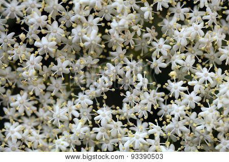 Black Elderberry Flowers (sambucus Nigra)