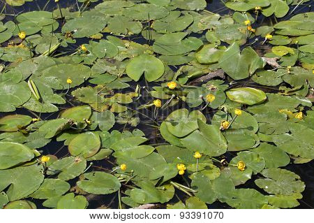 Yellow Water-lilies