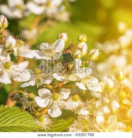 Rose Chafer Feeding On White Flowers.