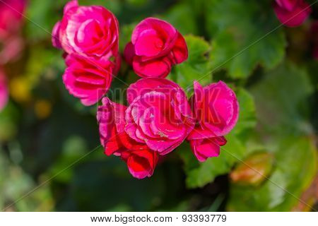 Pink begonia or fibrous flower