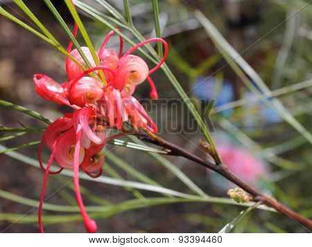 Grevillea Elegance Flower