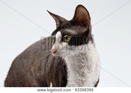 Closeup Portrait of Cornish Rex Cat on White