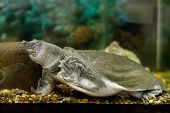foto of turtle shell  - Image of freshwater exotic Chinese softshell turtle - JPG
