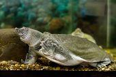stock photo of turtle shell  - Image of freshwater exotic Chinese softshell turtle - JPG