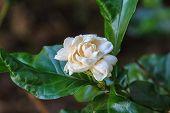 picture of arabian  - Arabian jasmine  - JPG