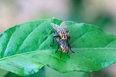 picture of blow-up  - close up breeding Blow fly on leaf - JPG