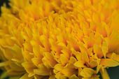 foto of marigold  - Marigold  flowers field, summer in garden Thailand ** Note: Visible grain at 100%, best at smaller sizes - JPG