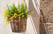pic of broom  - Wicker basket full of blooming broom hanging by the wall of country house - JPG