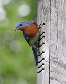 picture of bluebird  - An Eastern Bluebird (Sialia sialis) perching on a birdhouse. ** Note: Visible grain at 100%, best at smaller sizes - JPG