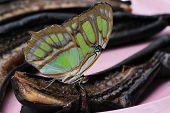 image of malachite  - Beautiful Malachite Butterfly feeding on rotten bananas - JPG