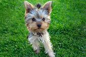 stock photo of yorkshire terrier  - Cute Yorkshire terrier puppy - JPG