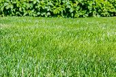 stock photo of ivy  - Lawn with cropped grass on the background of ivy