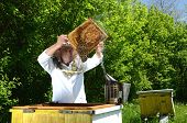 pic of inspection  - Experienced senior apiarist making inspection in apiary in the springtime - JPG