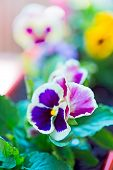foto of flower pot  - Pansy flower in a flower pot Purple and yellow flowers in pots. ** Note: Shallow depth of field - JPG