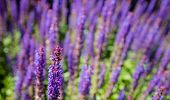 stock photo of salvia  - Closeup of purple flowering Woodland Sage or Salvia nemorosa plants from close in their own habitat on a sunny day in the spring season - JPG