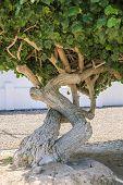 foto of arid  - Arid zone tree native to Sonora Desert of Mexico and Arizona - JPG