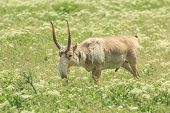 picture of steppes  - adult male saiga graizes in the steppe - JPG