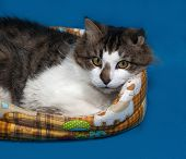 foto of blue tabby  - White and fluffy tabby cat lies in motley couch on blue background - JPG