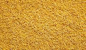 picture of millet  - Yellow millet grains as an abstract background texture - JPG