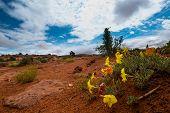 image of primrose  - Wild Flowers after the rain Evening Primrose Utah landscape - JPG