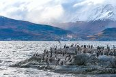 stock photo of sea lion  - King Cormorant colony sits on an Island in the Beagle Channel - JPG