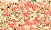 stock photo of cosmos  - Blur short of cosmos flowers - JPG