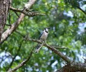 stock photo of blue jay  - A blue jay bird on the hunt for food and taking a minute to enjoy the sun. ** Note: Shallow depth of field - JPG