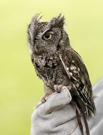 foto of screech-owl  - Eastern Screech Owl are found wherever trees are and they - JPG