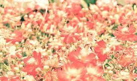 foto of cosmos flowers  - Blur short of cosmos flowers - JPG