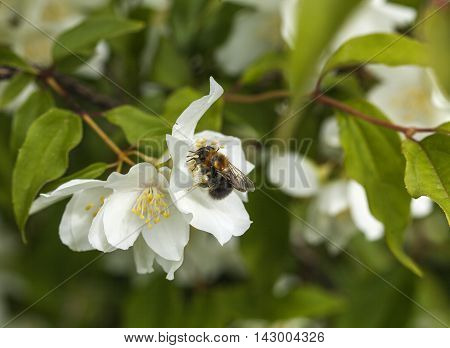 Closeup, macro of a bumblebee, jasmine flowers on a bush. Flowers and leaves in the background. Summer.