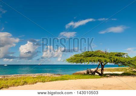 Divi-divi tree on Aruba. Tropical sea beach.