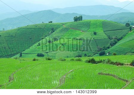 Rice fields and Corn farm in north Thailand. Pa Bong Piang rice paddy field in Chiang mai Thailand.