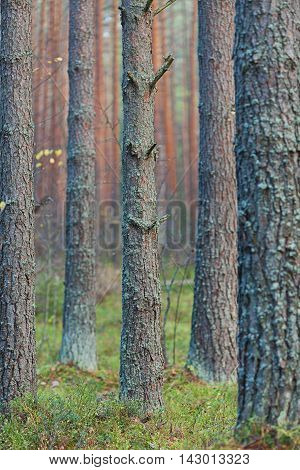 Coniferous forest with tall mast pines - close up