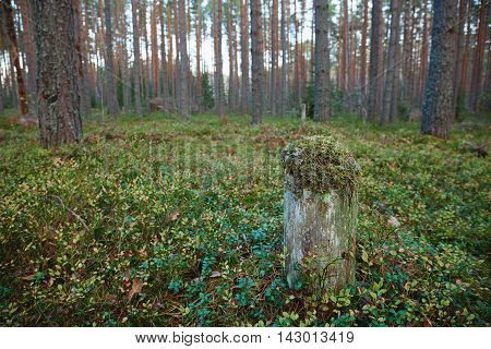 One mossy stump in a coniferous forest of tall mast pines