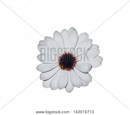 Isolated white daisy on whitewith clipping path