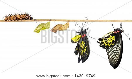 Isolated life cycle of common birdwing ( goldenwing) butterfly from caterpillar with clipping path