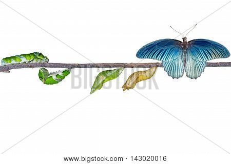 Isolated Life Cycle Of Male Great Mormon Butterfly From Caterpillar
