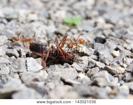 Red Ant Insect Swarm Of Fight Fiercely.