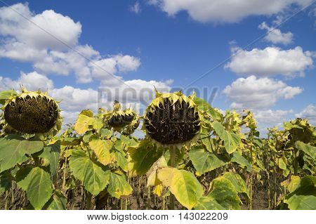 ripe sunflowers on a background of blue sky