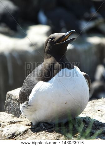 Guillemot on a rocky ledge during the breeding season