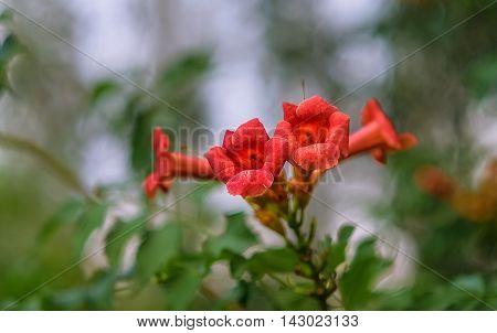 Beautiful red flowers of trumpet creeper. Flowering Trumpet vine or Campsis