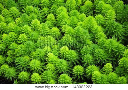 Myriophyllum aquaticum or water milfoil found in the waters of Xitang water town Zhejiang Province china.
