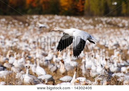 Snow Goose flying