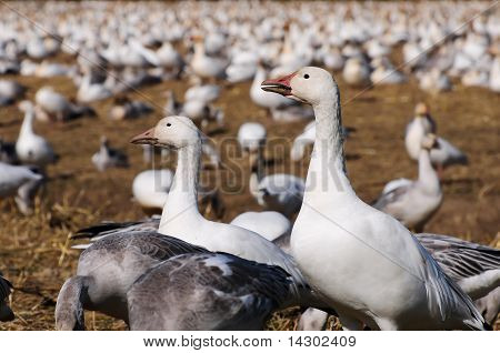 Snow geese family