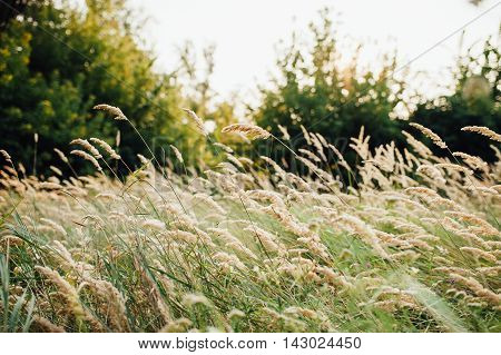 Spikelets Of Wheat In The Field