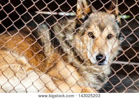 dog behind bars. beautiful dog with brown eyes lies behind a wire fence