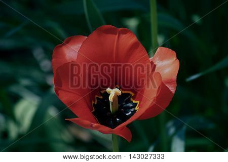 A close up of a red tulip.