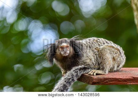 Little monkey in the brazilian rain forest