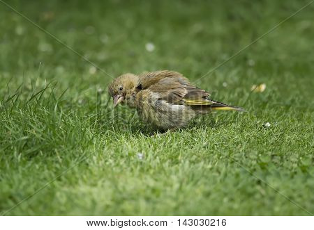 Greenfinch Juvenile, Perched On The Grass