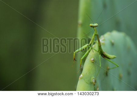 Small sub-adult mantis (Mantodea) standing on a cactus.